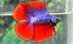 Ikan cupang cagak (Double Tail)