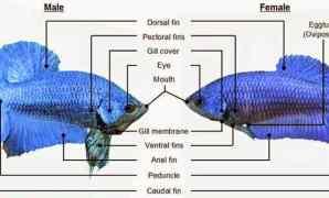 Perbedaan Ikan Cupang Jantan dan Betina
