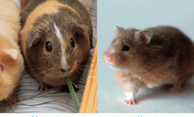 11 Cara Membedakan Hamster dan Marmut
