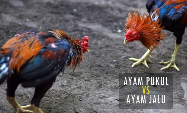 Perbedaan Ayam Jalu dan Ayam Pukul