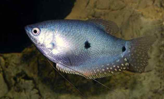 Cara Budidaya Ikan Sepat Agar Hasil Melimpah