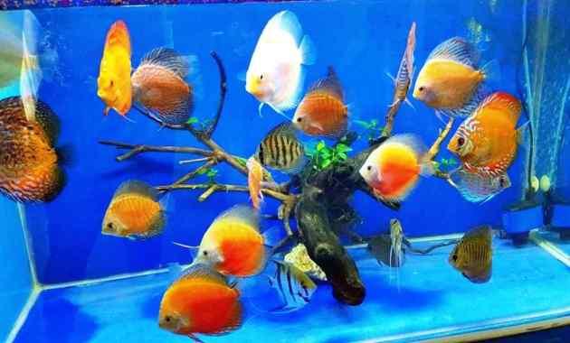 Ikan Discus Ciri, Karakteristik, Klasifikasi dan Jenis
