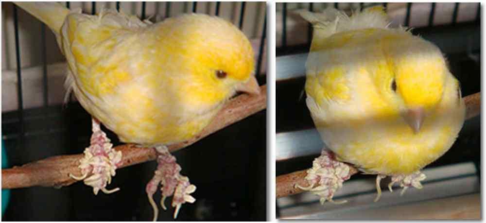 Penyebab dan Cara Mengatasi Kaki Burung Kenari Bersisik