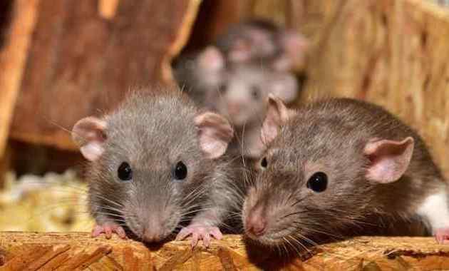 13 Cara Mengusir Tikus di Rumah Secara Alami