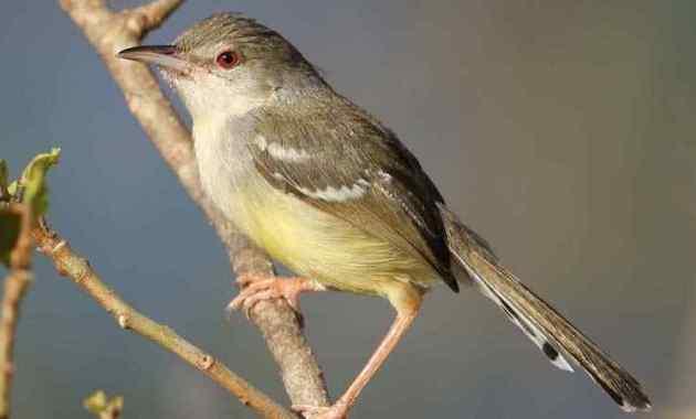 10 Jenis Burung Prenjak Layak Untuk Dipelihara