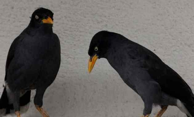 Cara Membedakan Burung Jalak Jantan dan Betina