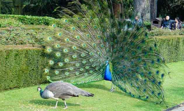 Cara Membedakan Burung Merak Jantan dan Betina