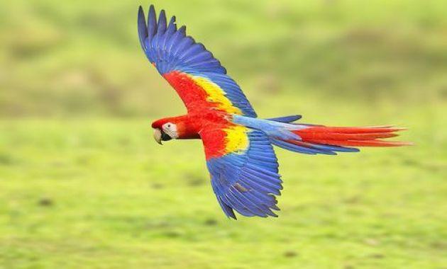 Jenis, Ciri, Makanan dan Habitat Burung Macaw