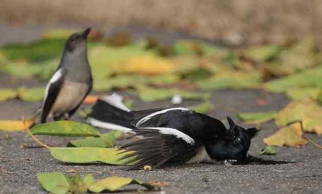 Jenis Penyakit Burung Kacer dan Cara Mengatasinya