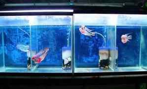 7 Cara Merawat Ikan Louhan dengan Benar