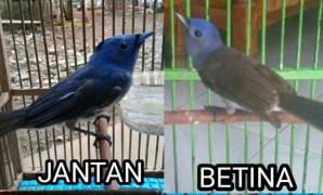 Cara Membedakan Burung Selendang Biru Jantan dan Betina