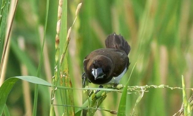 Cara Ternak Burung Emprit Paling Lengkap
