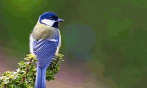 Klasifikasi, Ciri, Jenis, Habitat dan Makanan Burung Gelatik