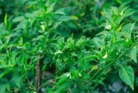 5 Jenis Pestisida Tanaman Cabe Yang Banyak Digunakan
