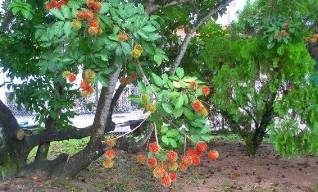 Klasifikasi Dan Morfologi Tanaman Rambutan