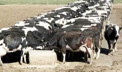 VacasLecherasComiendo-630