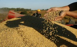 BAS 05. BUENOS AIRES (ARGENTINA), 09/04/08.- Un productor agropecuario levanta un manojo de semillas de soja este 8 de abril de 2008 en una estancia rentada por la empresa Los Grobos, en la localidad de Olivera, a unos 100 kilómetros de Buenos Aires, que con 600.000 hectáreas de cultivos es uno de las mayores productoras de soja del país. El mes de tregua que los productores agropecuarios argentinos dieron al gobierno de Cristina Fernández tras una huelga de 21 días se ha convertido en una incómoda cuenta atrás en la que la tensión va en aumento a medida que pasa el tiempo sin que se concreten fechas para la negociación. EFE/Cézaro De Luca