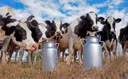 Vacas de tambo w