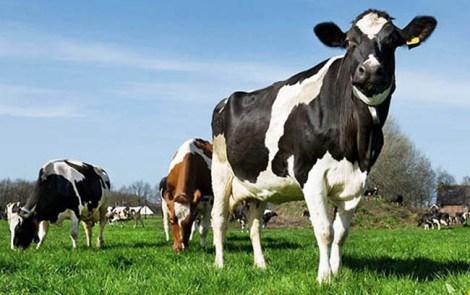 Vacas Holando w