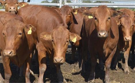 Vacas-IPCVA w