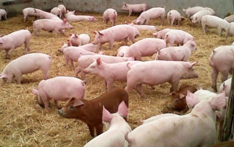 Porcinos-granja w