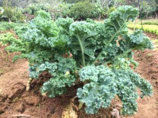 Kale rizado orgánico