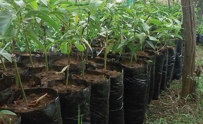 Plantas de hass certificadas