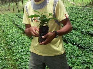 Plantas de café certificadas