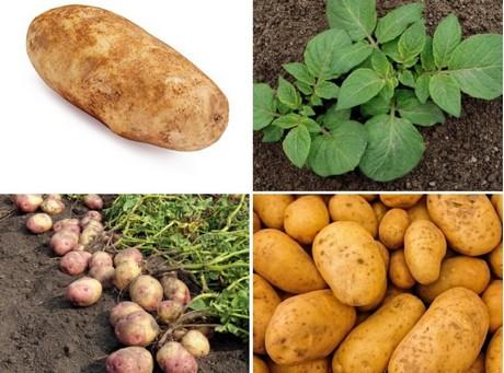 Patatas híbridas a partir de semillas: ¿oportunidad o amenaza?