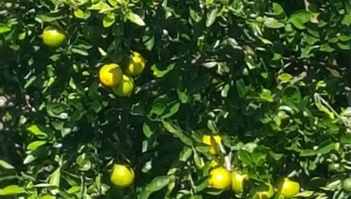 Naranjas Sweety