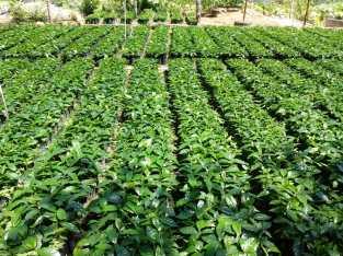 Vendemos plantas de café