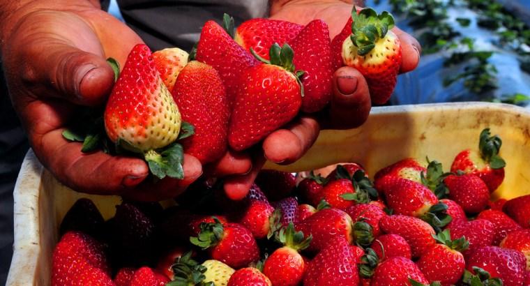 Fresas al granel