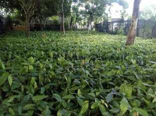 Vendemos plantas de cacao