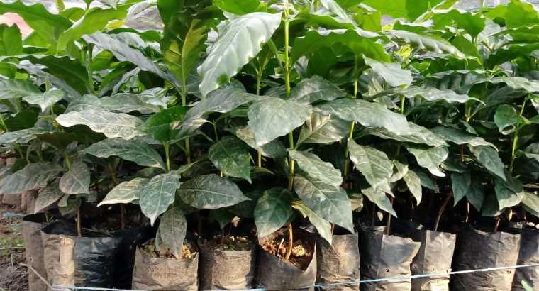 Plantas de cafe