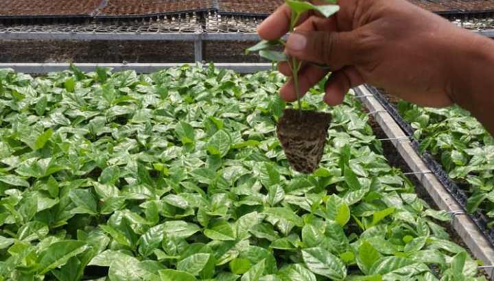 Vendo semillas de chinola