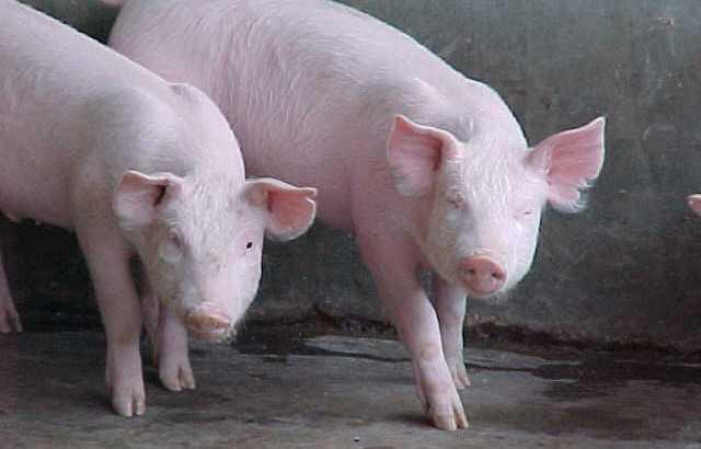 Vendo 40 cerdos
