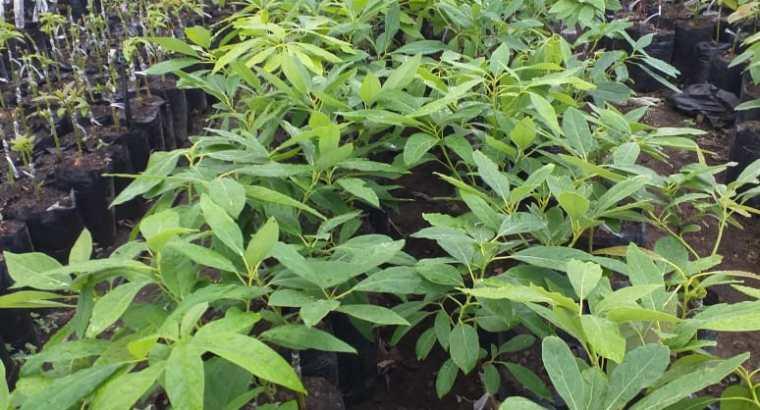 Vendo plantas aguacate hass