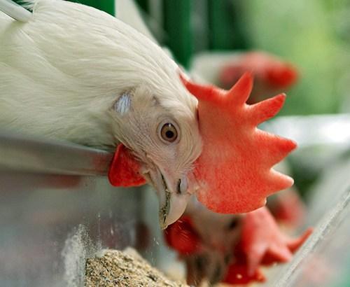Alimento para pollos