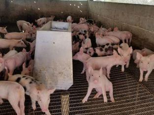 Se Vende Cerdos al Destete