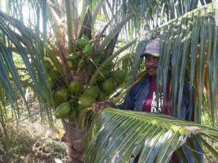 Plantas de coco enano