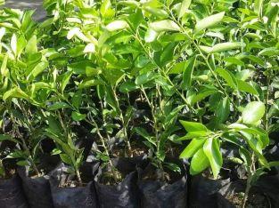 Plantas de limón y cacao