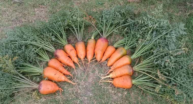 Tenemos zanahorias disponibles