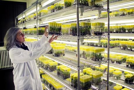 """Crearán variedad de """"bananas inteligentes"""" resistentes a las plagas y al cambio climático"""