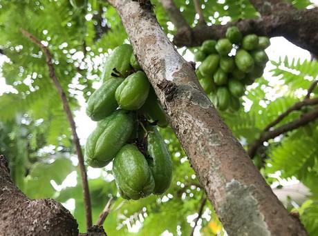Conozca el Bilimbi: una fruta de nicho de Malasia