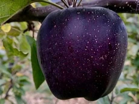 Conoce las Manzanas Black Diamond del Tíbet