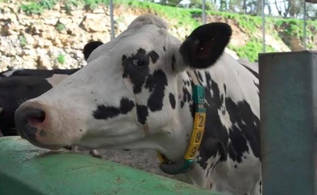 Vacas con conexión 5G