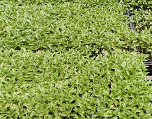 Plantas de aji cubanela