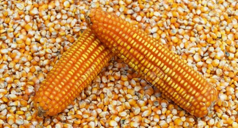 Vendo maiz criollo