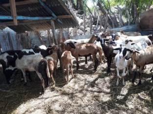Vendo 17 ovejas