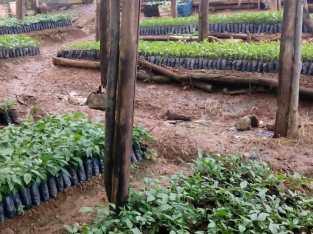 Vendo plantas de chinola